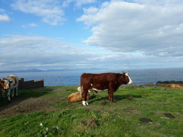 Jedno zdjęcie. Krowa